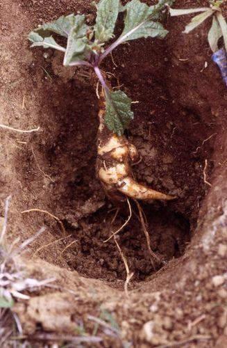 Mandragora Autumnalis 09 Plantas Magicas Mandrake Root Roots Y