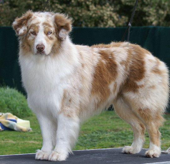 Australian Shepherd Smart Working Dog Aussie Dogs Red Merle