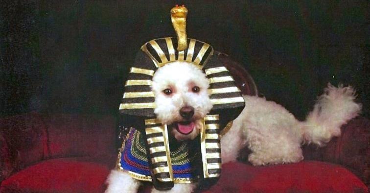 Arnie Egyptian prince bichon
