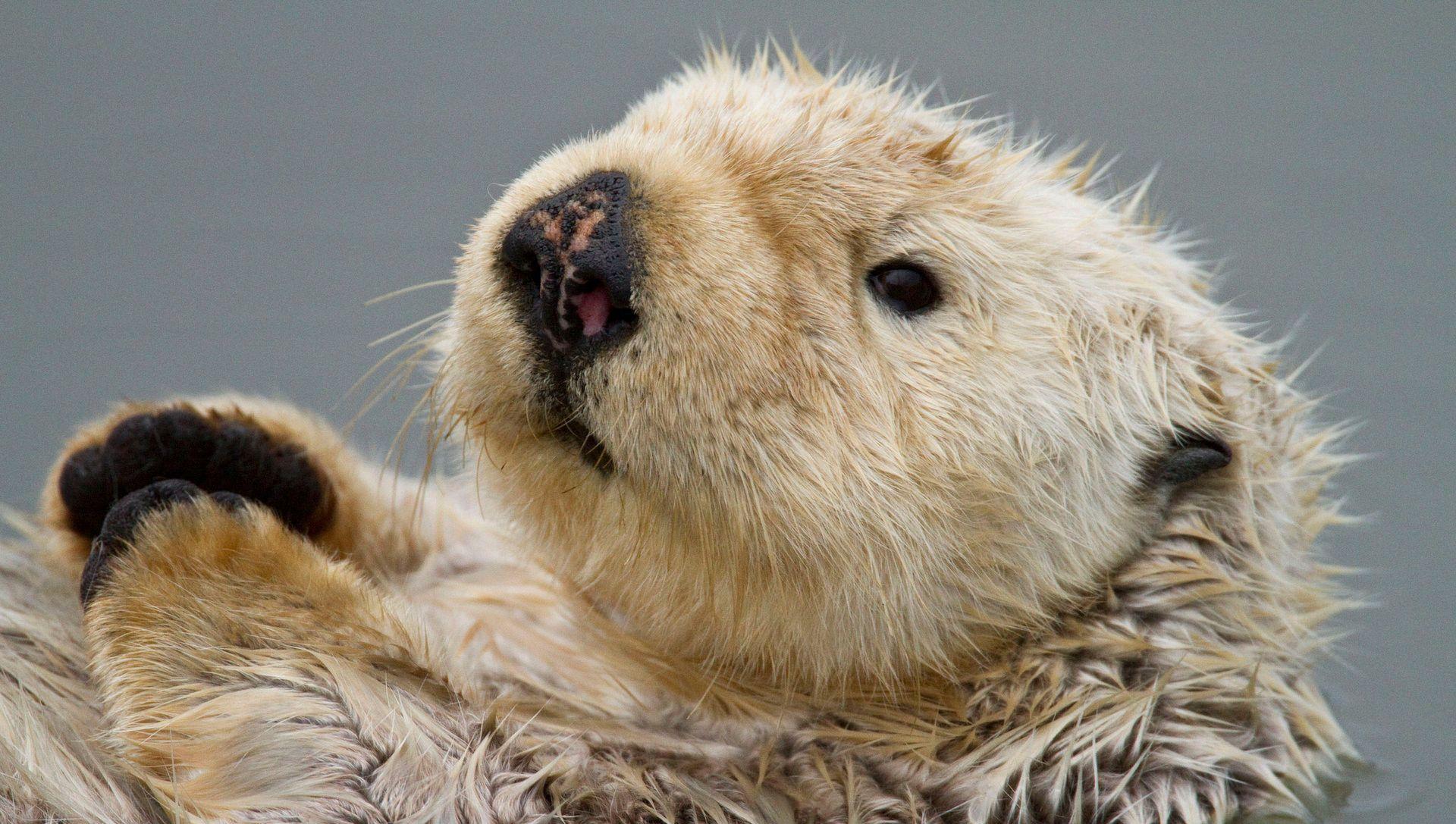 Sea Otter Awareness Week 可愛すぎる動物 ラッコ 動物