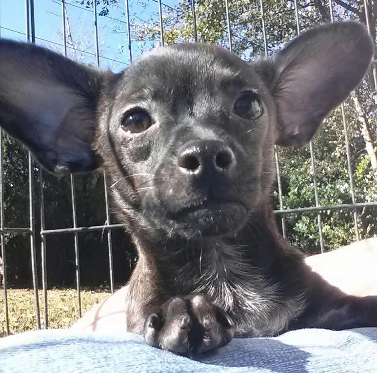 Meet Percy A Petfinder Adoptable Chihuahua Dog Warwick Ri