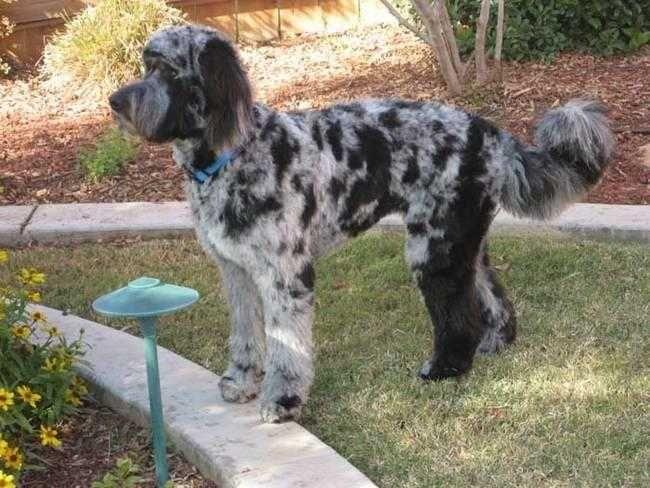 Australian Shepherd Goldendoodle Mix Aussiedoodle Goldendoodle Best Dog Toys