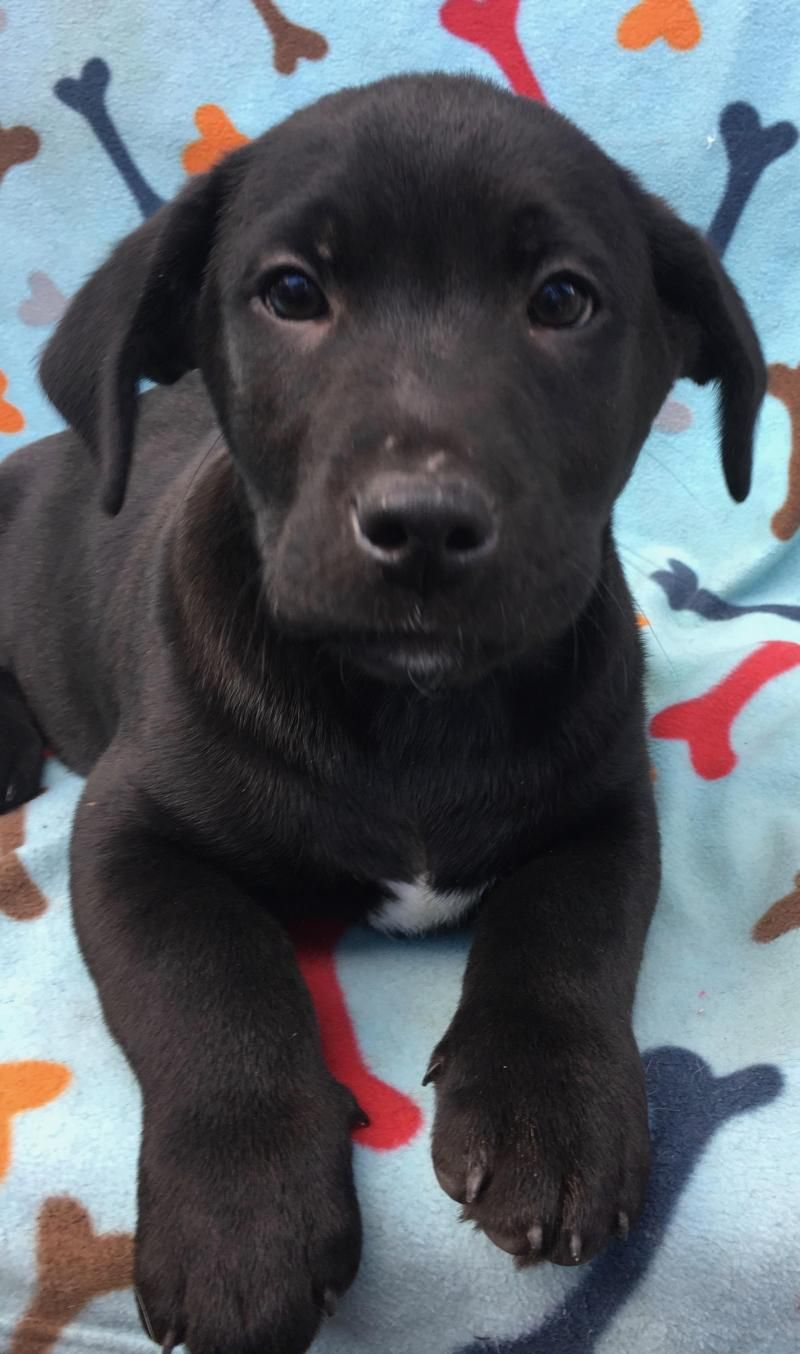 Adopt Jet on Cute animals, Labrador retriever, Labrador
