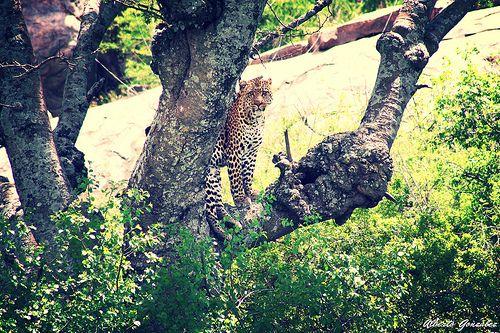 leopardo en africa