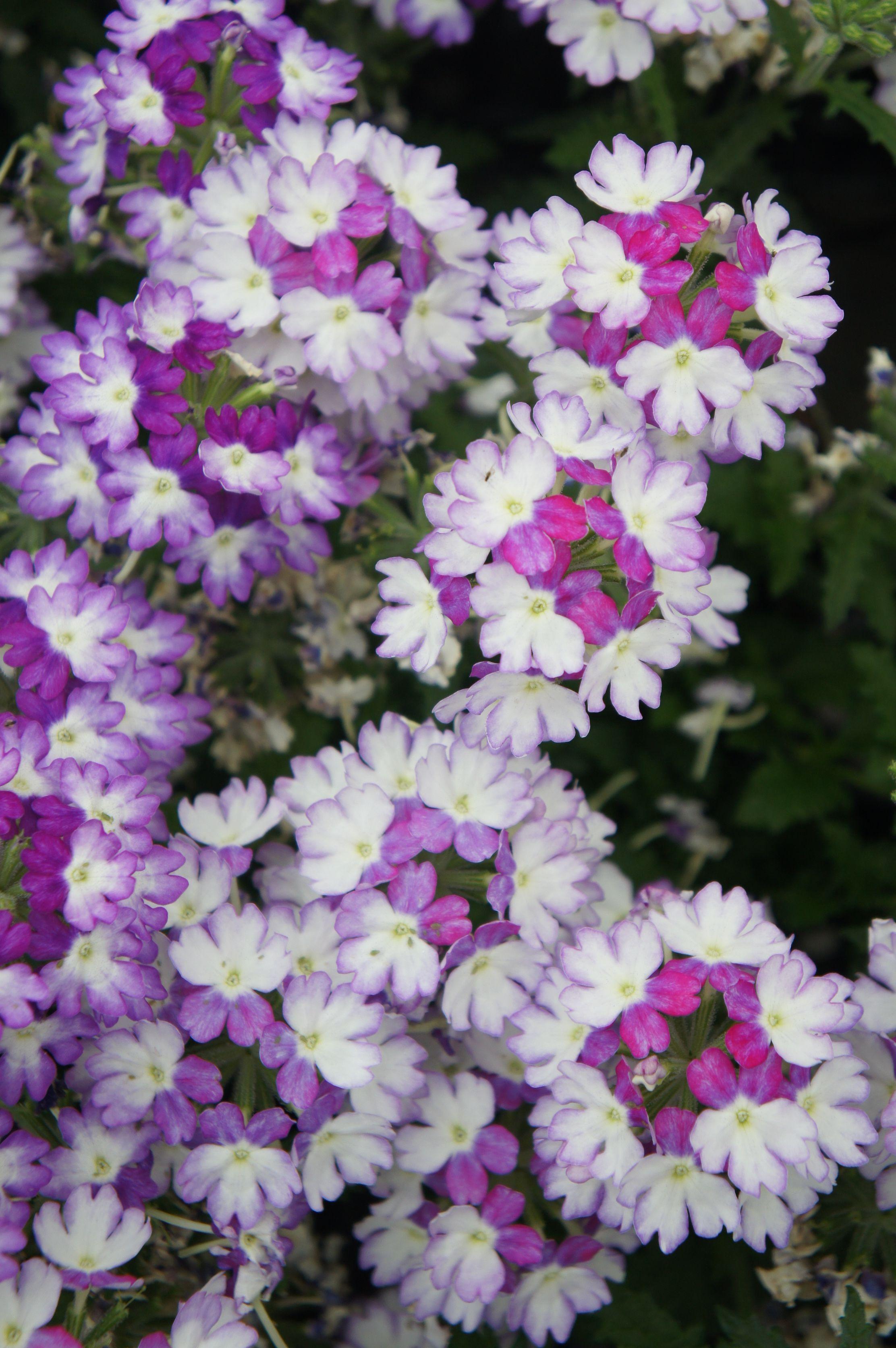 Introducing Lightshow verbena homedepot vivaplants purple verbena garde