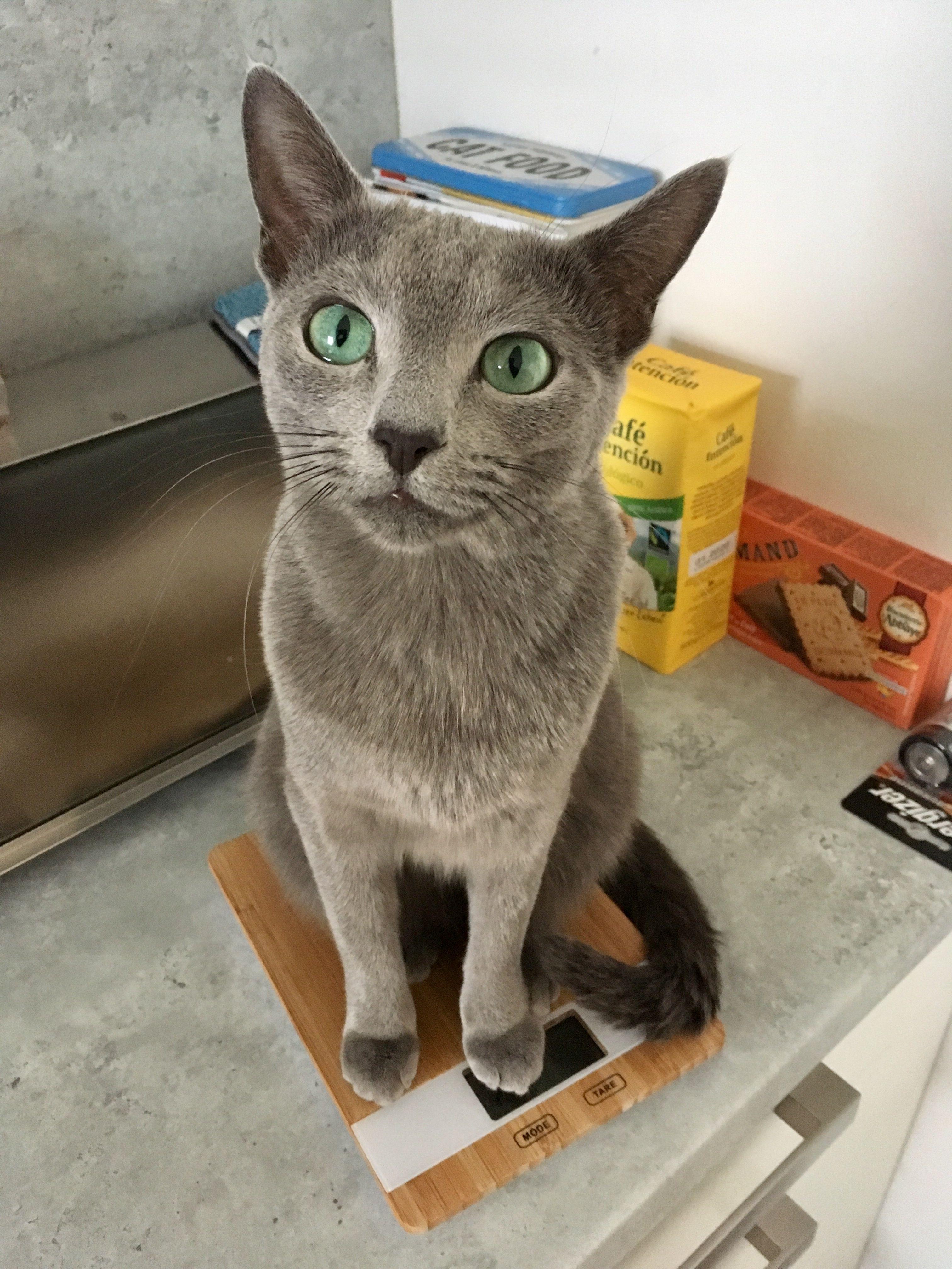 Pin By Kick Rockslosers On Russian Blue Russian Blue Blue Cats Russian Blue Cat