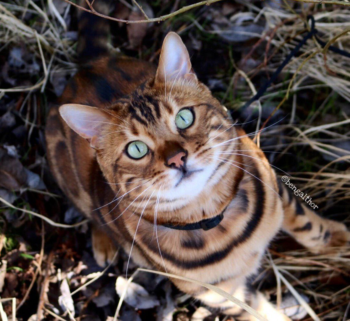 Cat Born With Incredible Tiger Stripes Is So Beautiful People Don T Believe He S Real Bengal Cat Beautiful Cats Bengal Cat Kitten