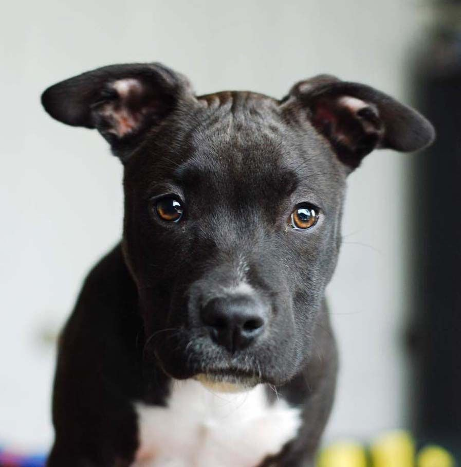 Ali the American Staffordshire Terrier Mix English