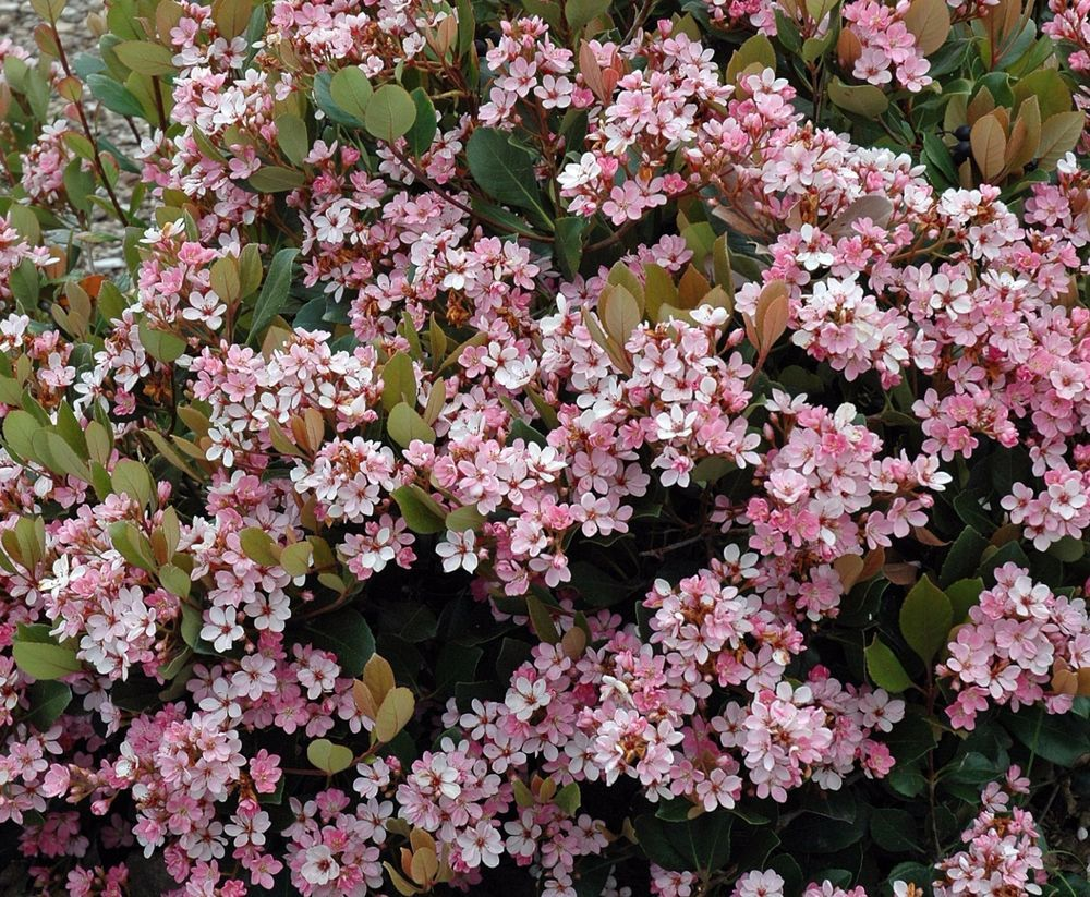 Indian hawthorn eleanor tabor pink lady rhaphiolepis