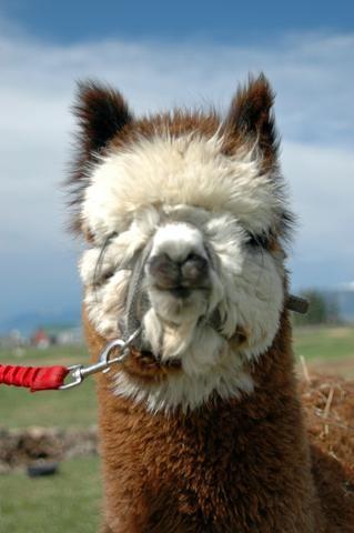 Sheep's Wool vs. Alpaca Fleece   Alpacas of Montana, Inc.   Born, Shorn and Worn in the U.S.