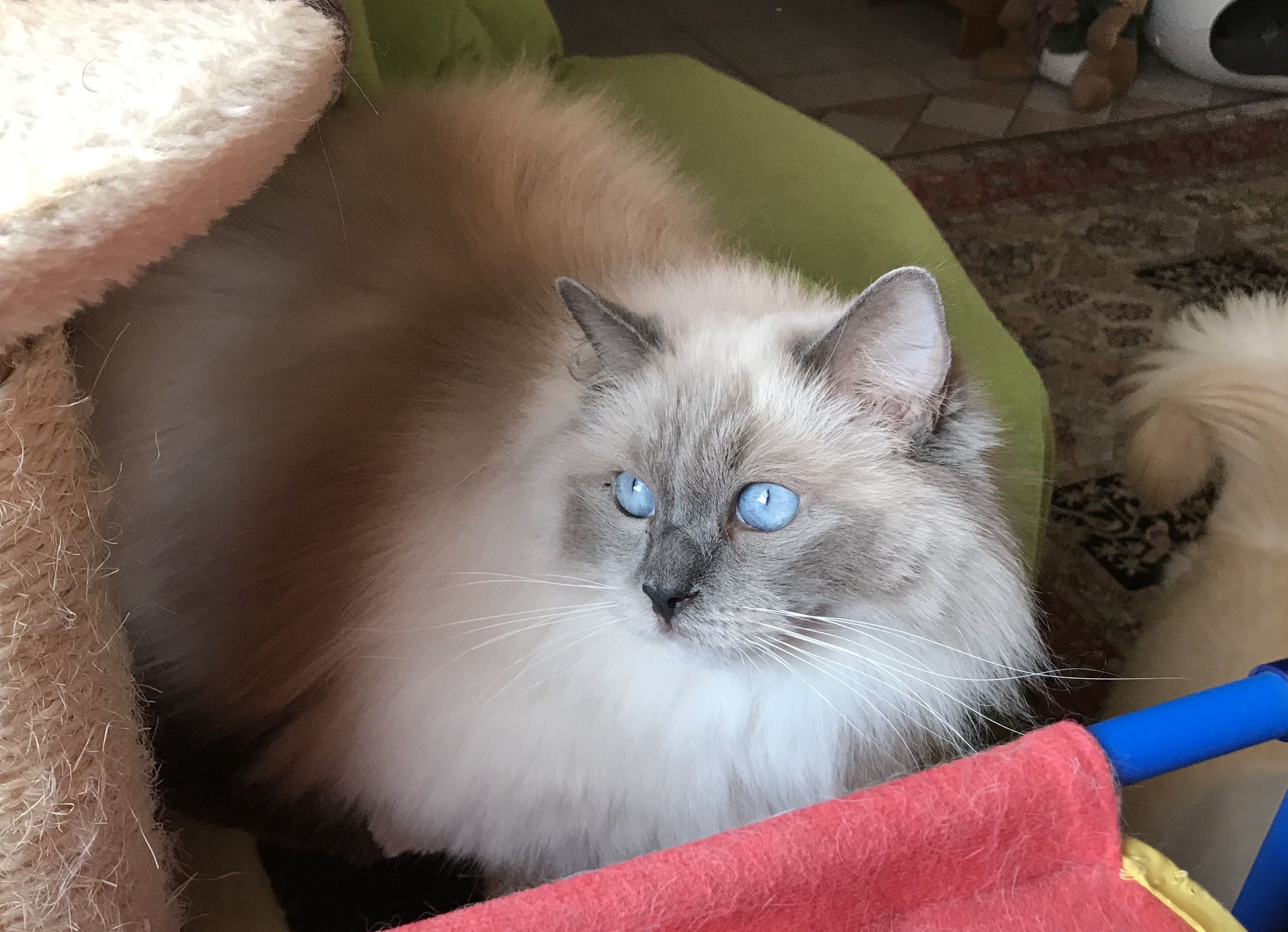Lito, super blue mitted Ragdoll girl Cats, Cat