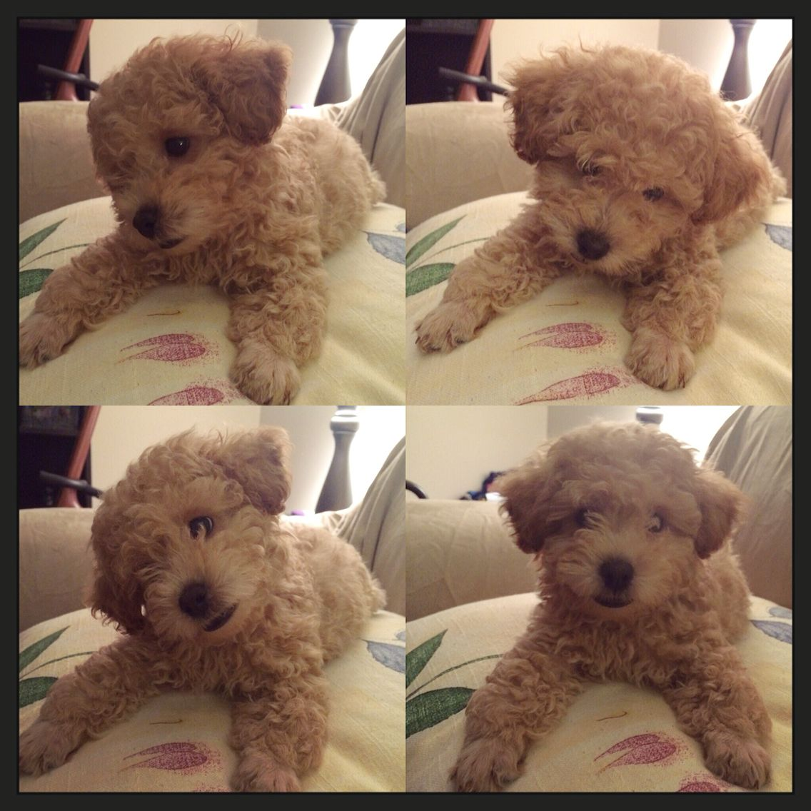 Light Apricot Toy Poodle Toy Poodle Puppy Love