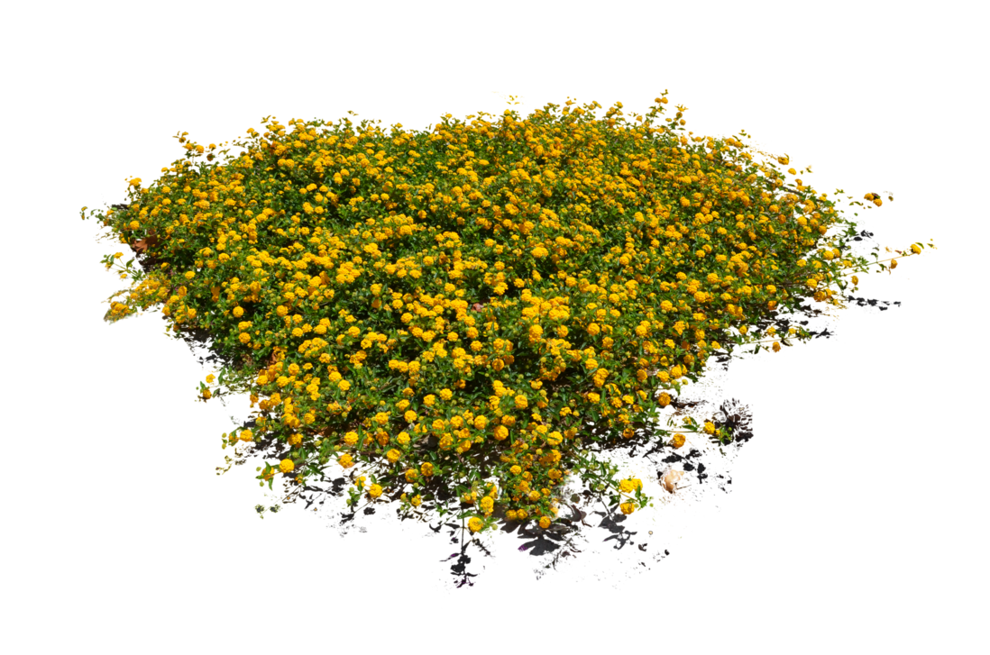 Yellow Flower Bed Stock Photo Dsc 0103 Png Plants Plant Images Shrubs For Landscaping