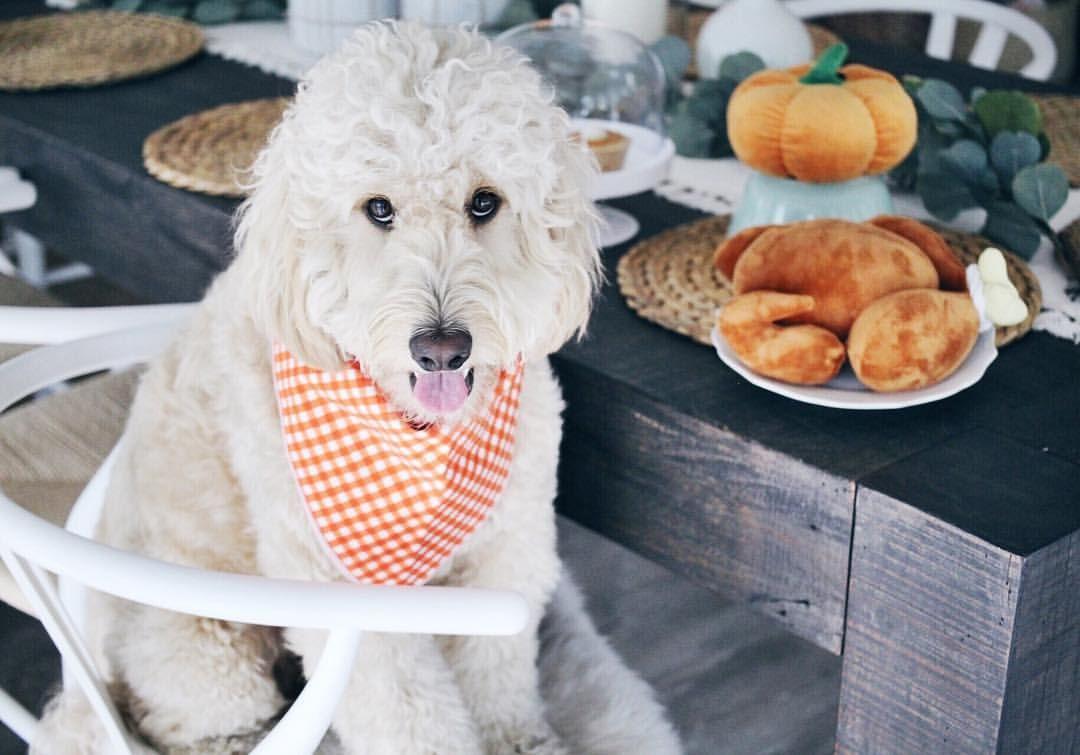 Dog Thanksgiving Feast Barkleydoodles Cute Mini Goldendoodles