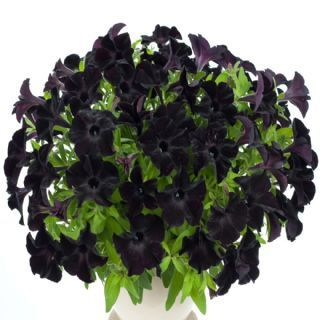 Petunia Black Velvet 5 Large Plug Plants Black Petunias