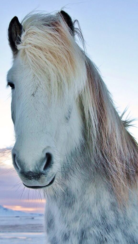 Equine Shaggy white Northern horse | Animal Magnetism ...