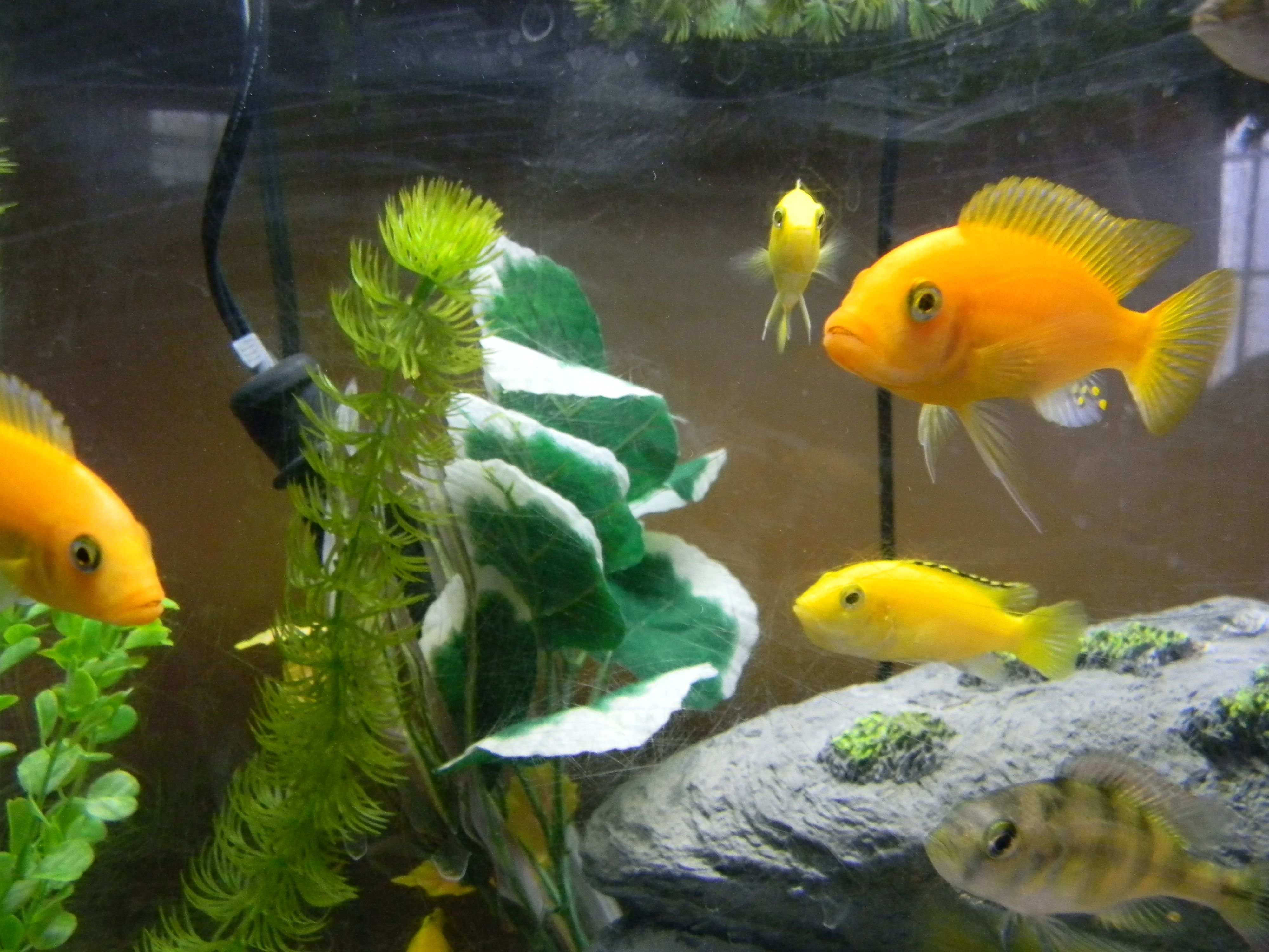 Black and yellow freshwater aquarium fish - Yellow And Orange Cichlids Seem To Be Less Aggressive That Would Explain Why I Have All Blue And Blue And Black Left