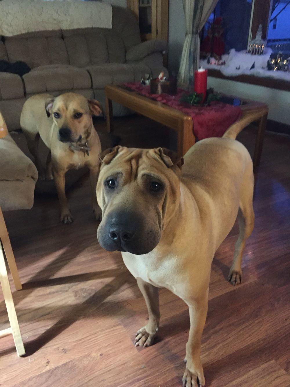 Porter And Bella Pets Shar Pei Labrador Retriever