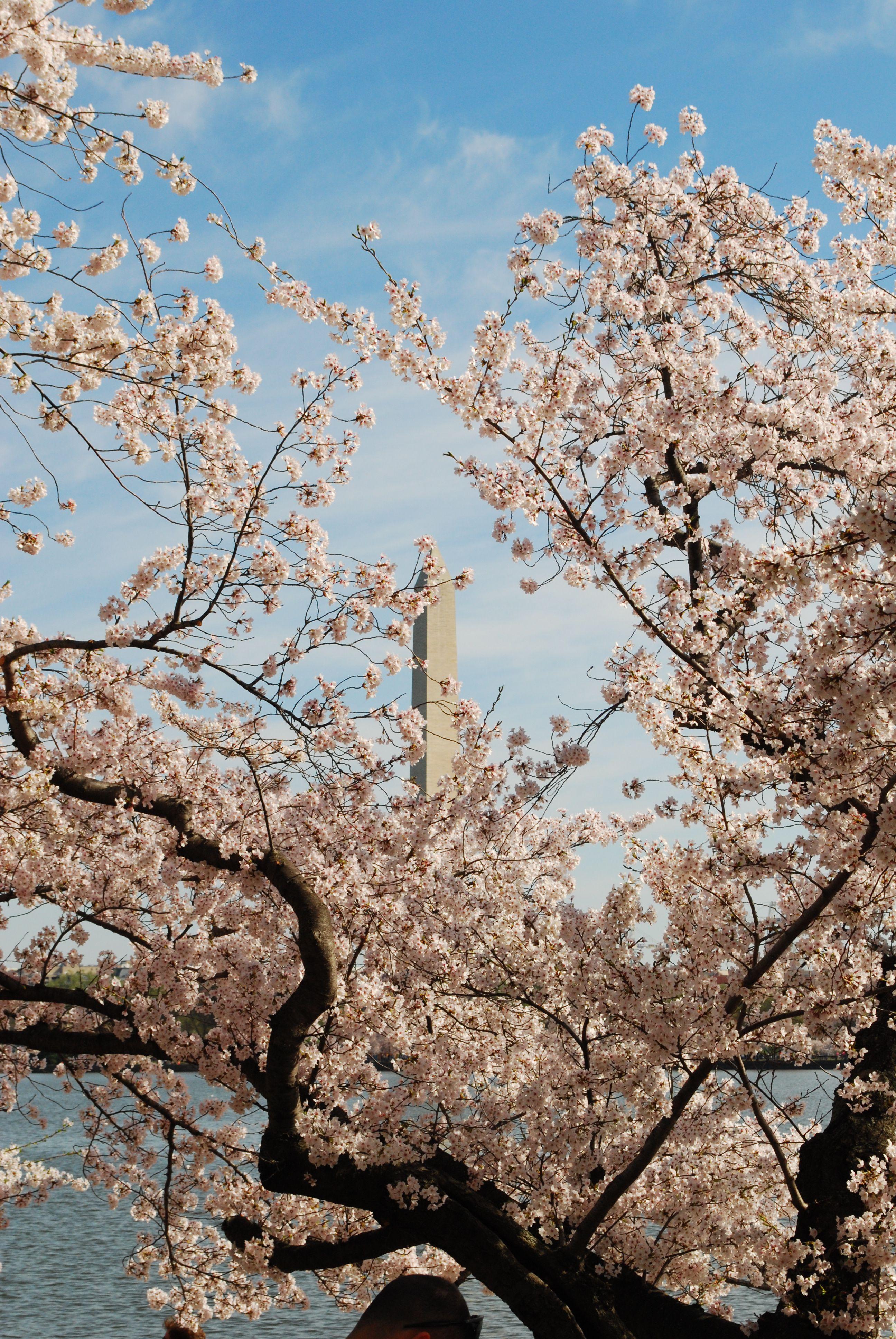 Cherry Blossom Washington Dc Cherry Blossom Washington Dc Washington Dc March Washington Dc