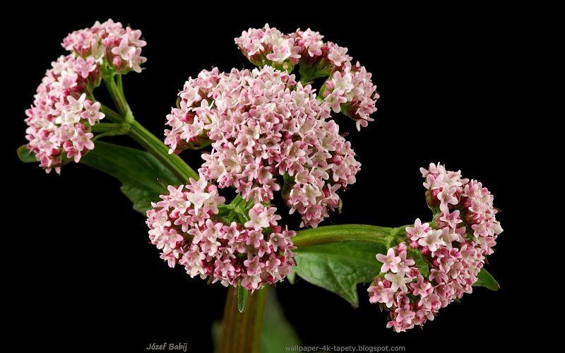 Tapety Na Pulpit 4k Ultra Hd Full Hd I Inne Rozdzielczosci Kozlek Calolistny Kwiaty Valeriana Simplicifolia Flowers Plants Herbs Cannibas