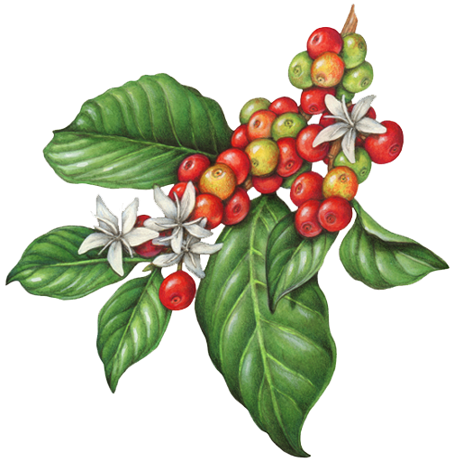 coffee plant flowers berries fruit copy botanical prints pinterest coffee plant coffee. Black Bedroom Furniture Sets. Home Design Ideas