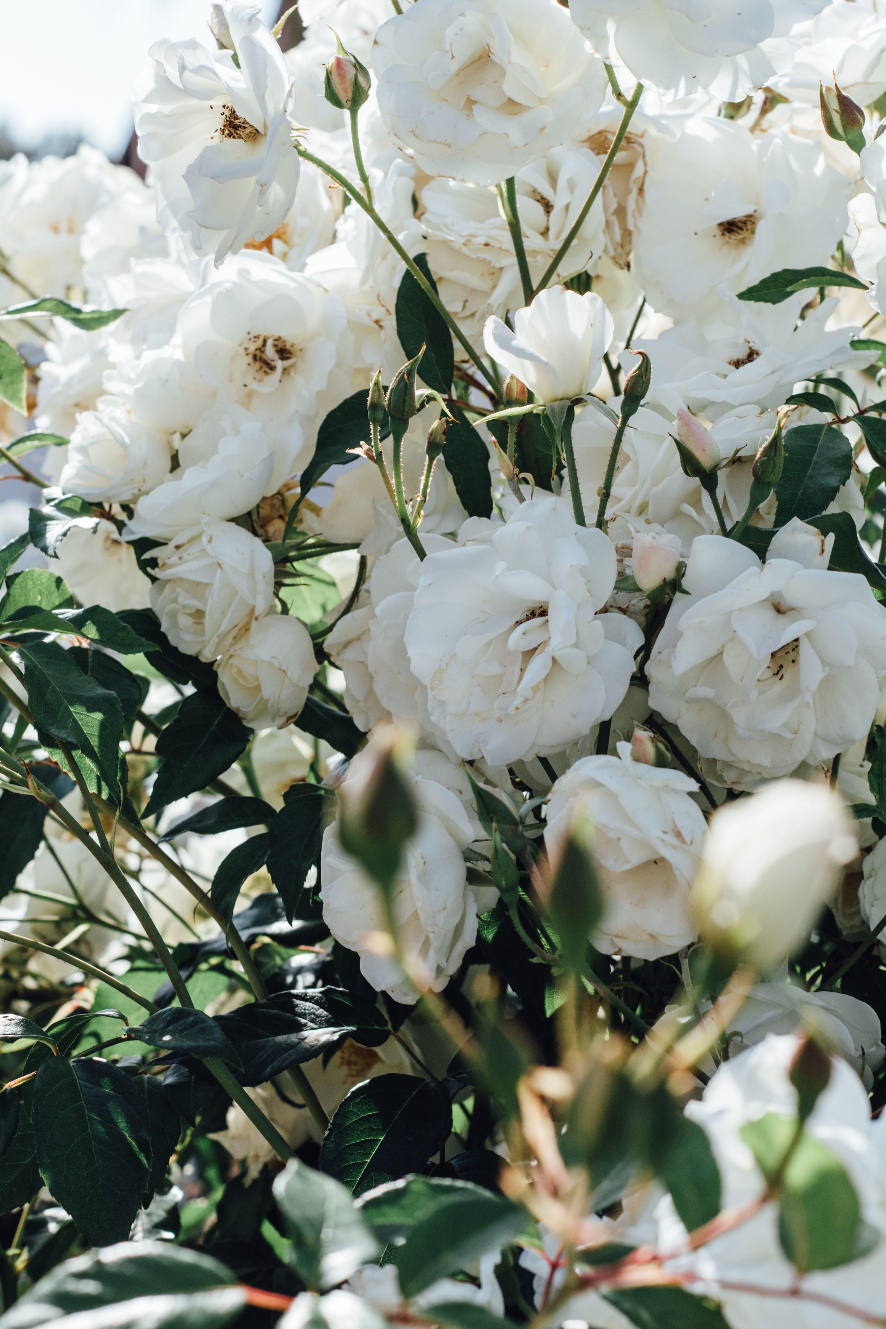 White Flowers Aesthetic Art Prints For Walls White Flower Wallpaper Flower Aesthetic Flower Wallpaper