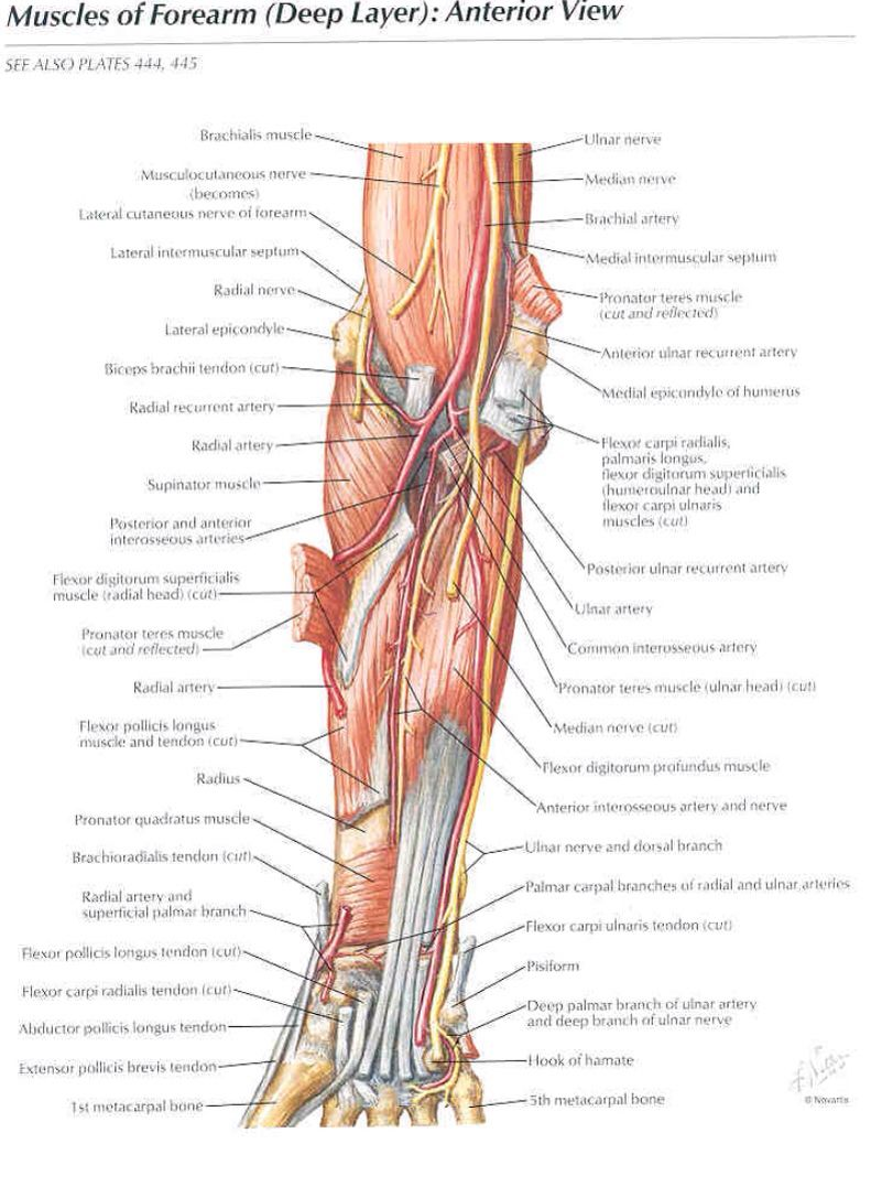 Muscles Of The Forearm Anterior View Anatomy Pinterest