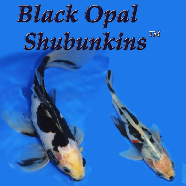 Pin by Julian Baker on Aquaria | Goldfish, Black opal, Opal