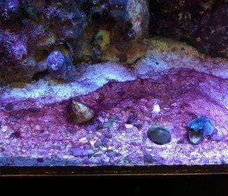 How To Get Rid Of Red Algae Red Slime Red Algae Saltwater Aquarium