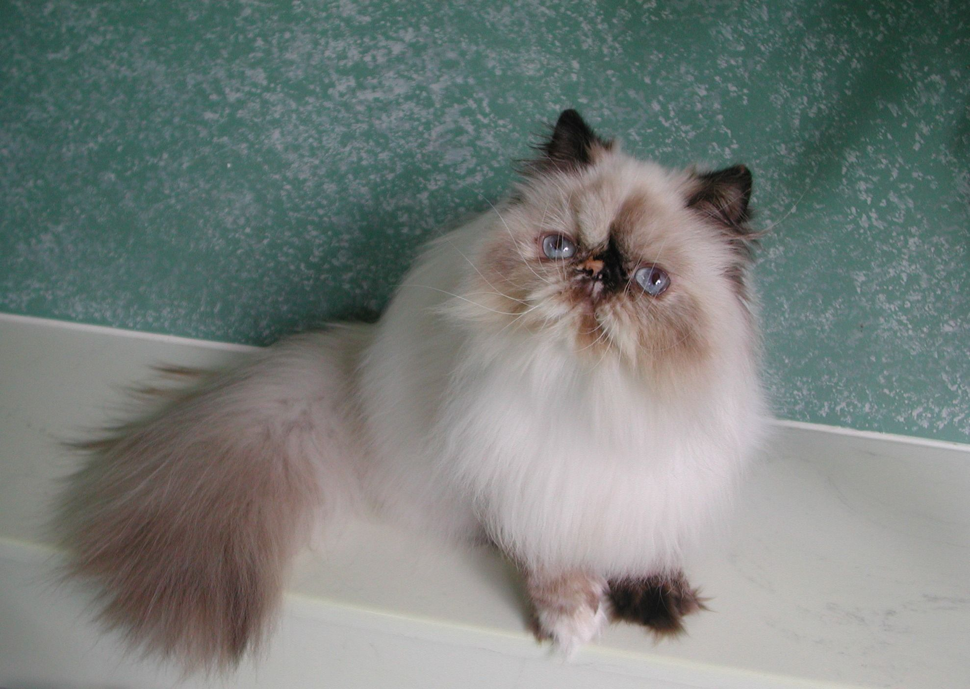 Post Himalayan Cat Blue Point Ragdoll Cats Photo Seal