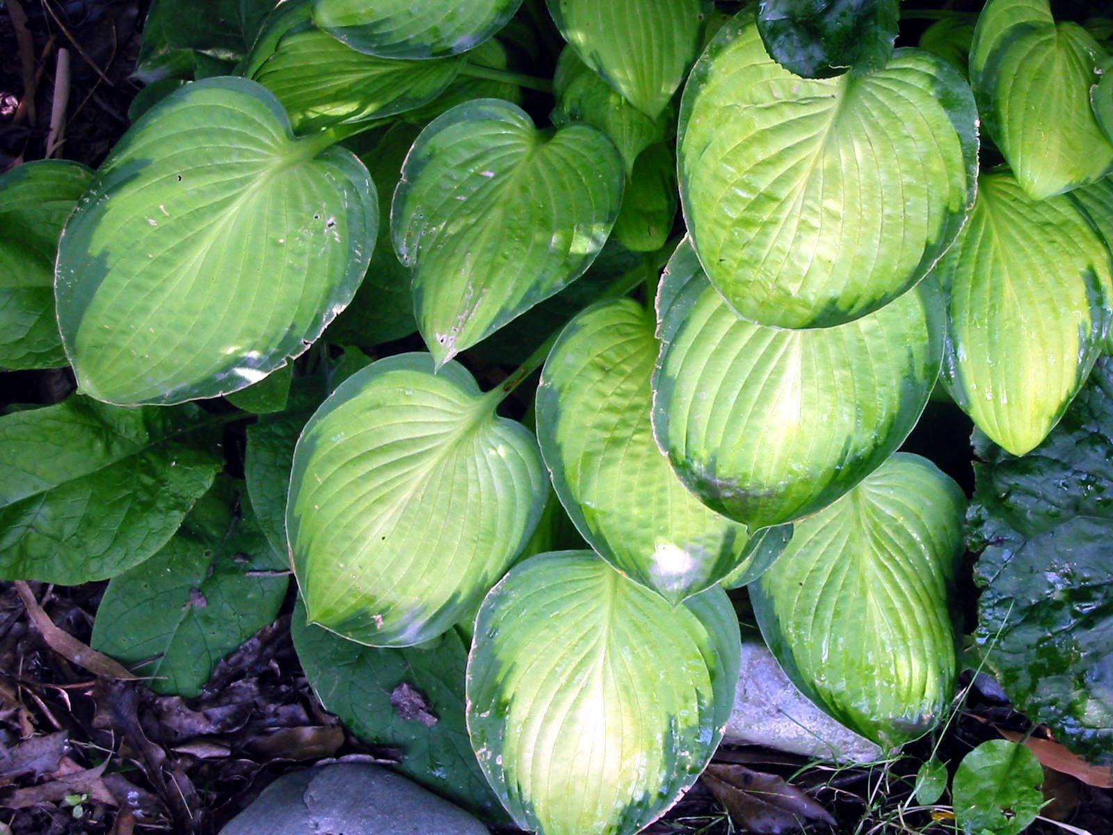 Hosta Plant Gallery Hosta plants, Hostas, Hosta varieties