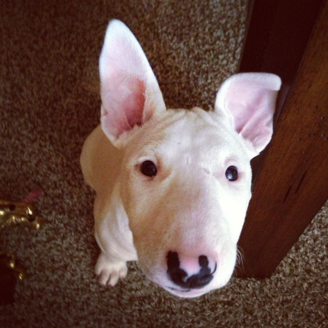 English Bull Terrier Letty Baby English Bull Terriers Bull Terrier I Love Dogs