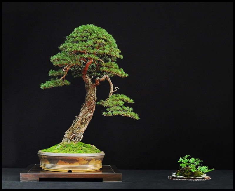 An easy to follow bonsai tree care guide for novice bonsai
