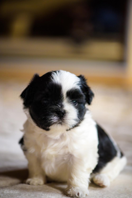 Baby Shih Tzu Puppies In 2020 Shih Tzu Puppy Baby Shih Tzu Puppy Baby Shih Tzu