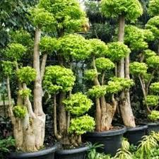 harga bonsai anting putri Google Search Bonsai