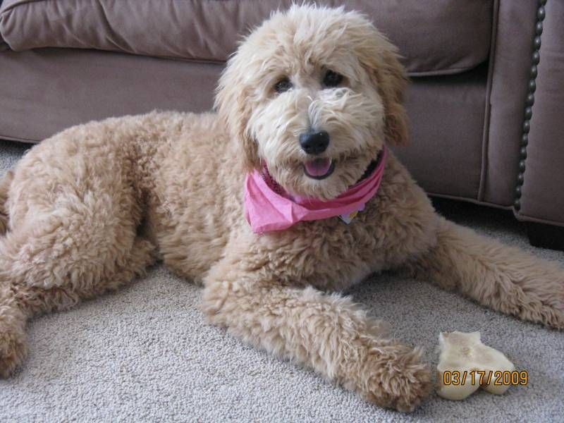 Labradoodle Haircut Styles Bred To Poodle Same Dogs Just Two Different Stages And