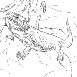 Image Result For Bearded Dragon Coloring Page Bearded Dragon Cute Dragon Coloring Page Dragon Sketch
