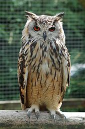 Indian Eagle-owl, Bubo bengalensis: Indian subcontinent - Wikipedia