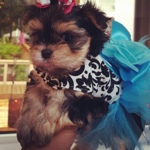 Tiniest Teacup Morkie Puppy Sold At The Glamour Pups Morkie