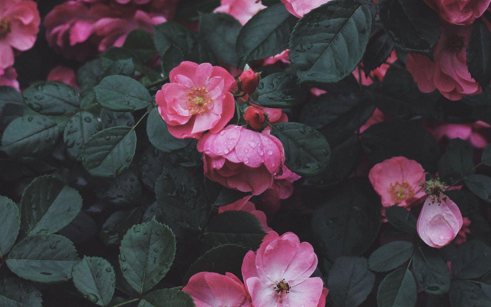 Wild Rose Hd Wallpaper Wild Roses Wallpaper Rose