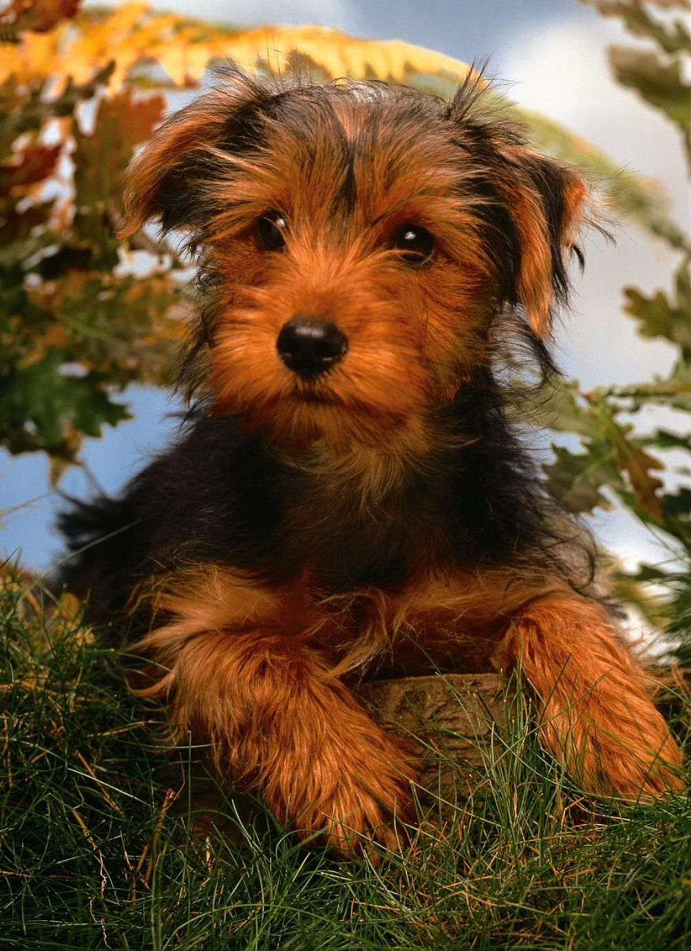 Airedale terrier yorkie mix
