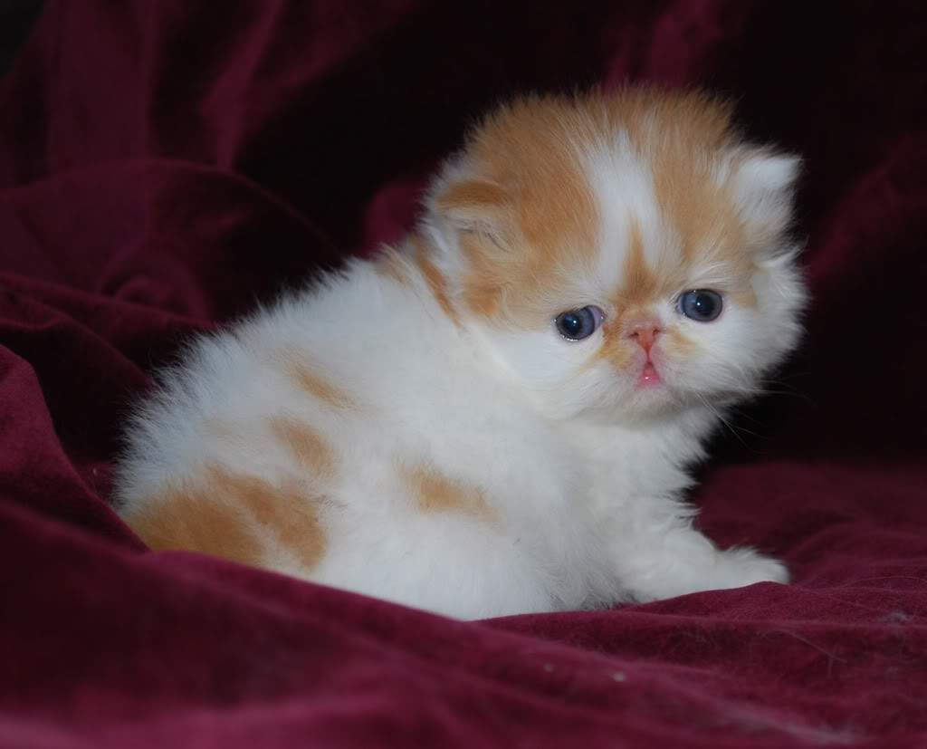 white persian kittens Google Search Maria Pinterest
