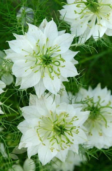 Love In A Mist Nigella Damascena Albion Green Pod Pure White Flowers With Prominent Boss Of Stamens Are Framed By Collar Wispy Foliage