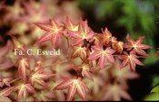 Acer palmatum 'Bonfire'_thumbnail