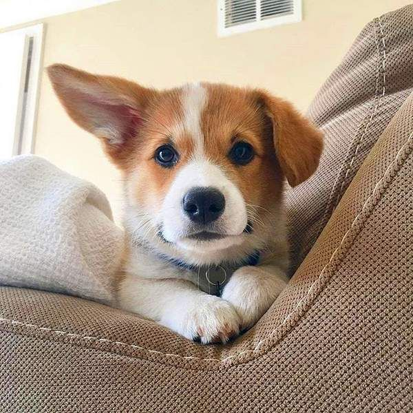 Fun Fact The Name Corgi Literally Means Dwarf Dog In Welsh