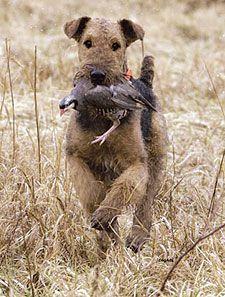 Versatile Airedale Terrier doing his job!