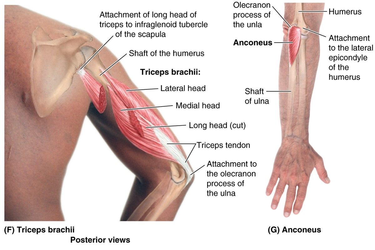 posterior arm muscles   anatomy   Pinterest