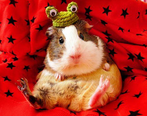Pin En Guinea Pig Cuteness