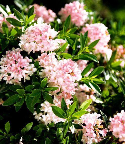 Rhododendron u0027Bloombux®u0027 Gartenideen Pinterest Immergrüne - gartenstraucher immergrun winterhart