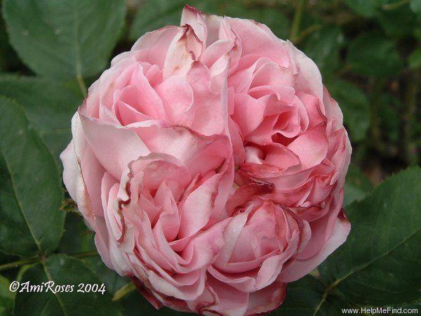 Thyra Hammerich 1868 Stauden Pflanzen Rosen Pflanzen